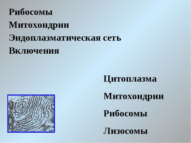Рибосомы Митохондрии Эндоплазматическая сеть Включения Цитоплазма Митохондрии...