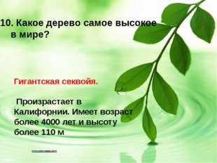 Гигантская секвойя. Произрастает в Калифорнии. Имеет возраст более 4000 лет