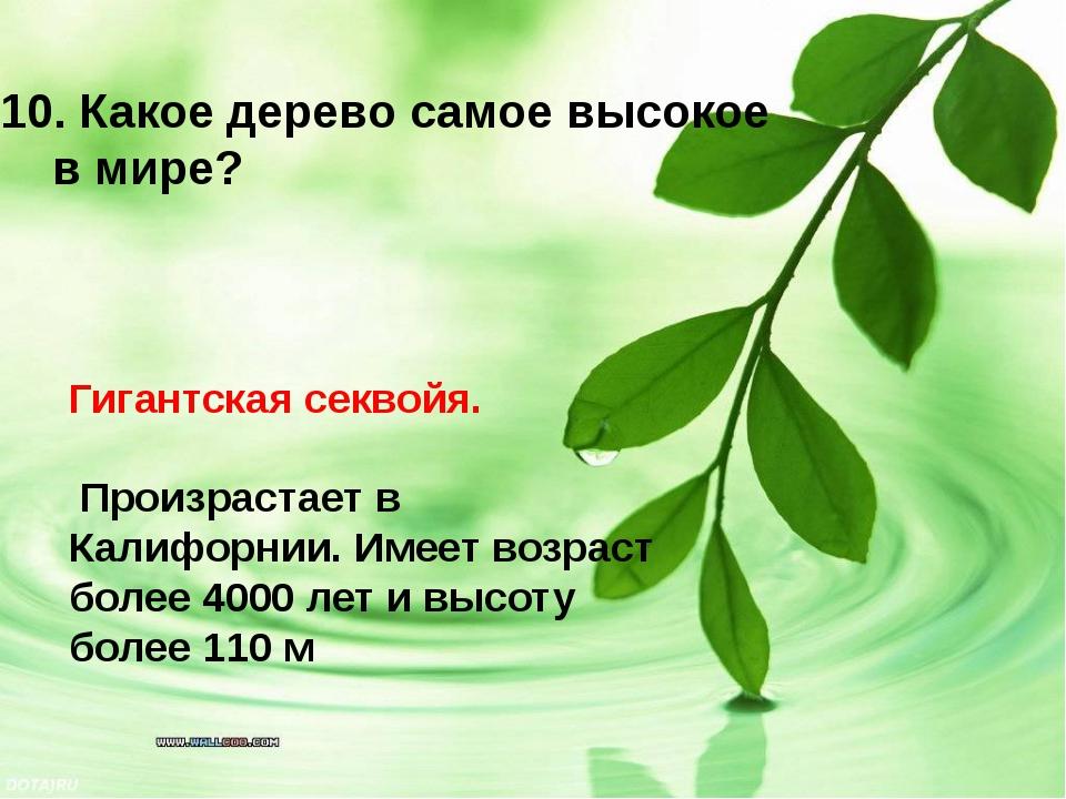 Гигантская секвойя. Произрастает в Калифорнии. Имеет возраст более 4000 лет...