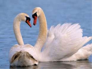 БЕЛОСНЕЖНЫЙ ЛЕБЕДЬ Н. Осипов Лебедь – очень сильная и храбрая птица. Он смело