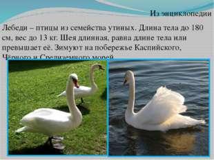 Из энциклопедии Лебеди – птицы из семейства утиных. Длина тела до 180 см, вес