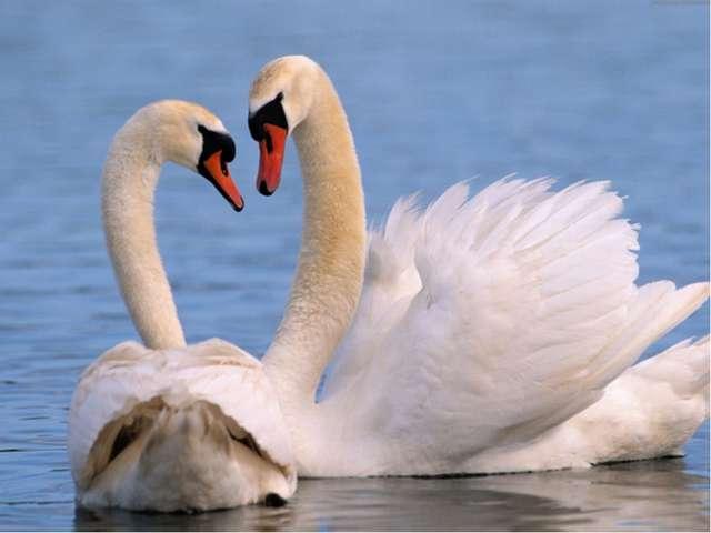 БЕЛОСНЕЖНЫЙ ЛЕБЕДЬ Н. Осипов Лебедь – очень сильная и храбрая птица. Он смело...
