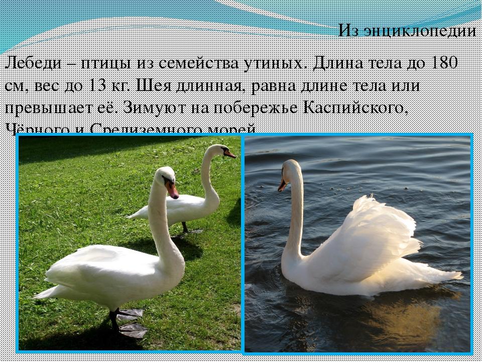 Из энциклопедии Лебеди – птицы из семейства утиных. Длина тела до 180 см, вес...