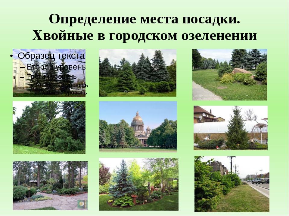 Определение места посадки. Хвойные в городском озеленении
