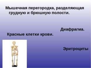 Мышечная перегородка, разделяющая грудную и брюшную полости. Диафрагма. Красн