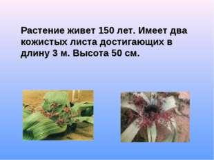 Растение живет 150 лет. Имеет два кожистых листа достигающих в длину 3 м. Вы