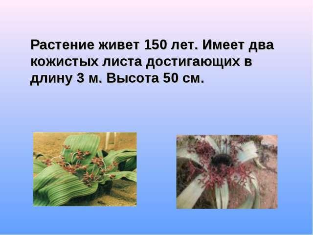 Растение живет 150 лет. Имеет два кожистых листа достигающих в длину 3 м. Вы...