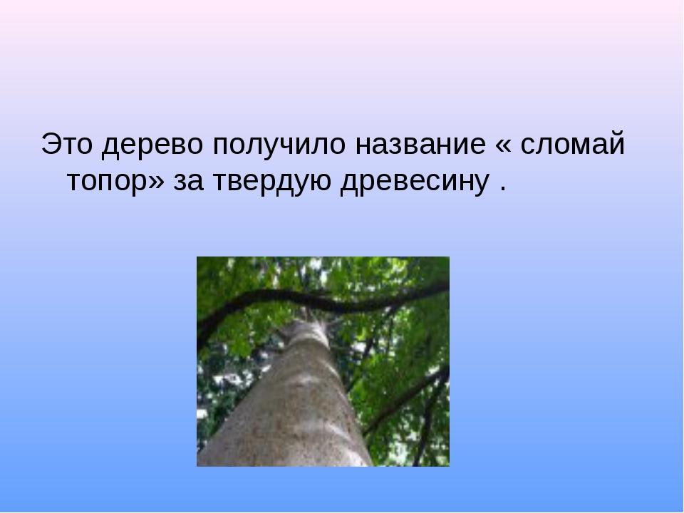 Это дерево получило название « сломай топор» за твердую древесину .