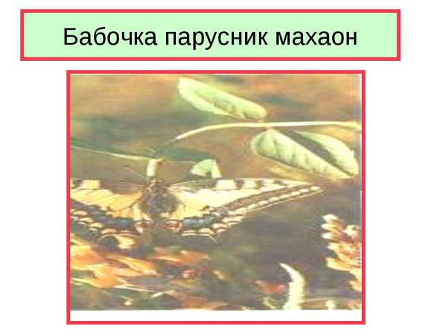 Бабочка парусник махаон