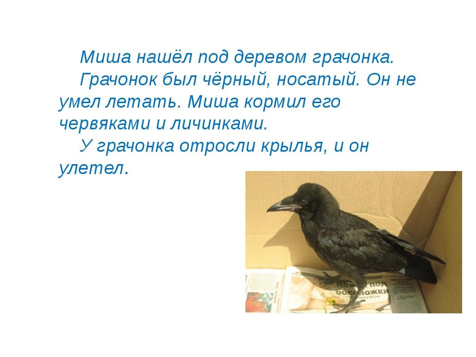 © InfoUrok.ru Миша нашёл под деревом грачонка. Грачонок был чёрный, носатый....
