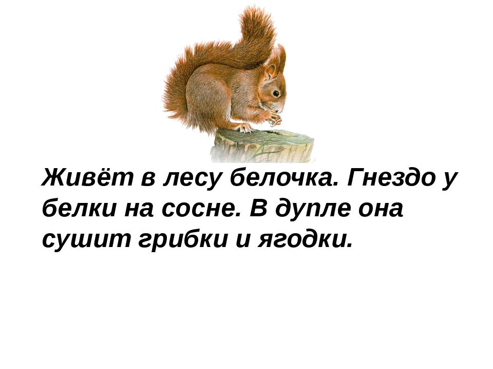 © InfoUrok.ru Живёт в лесу белочка. Гнездо у белки на сосне. В дупле она суши...
