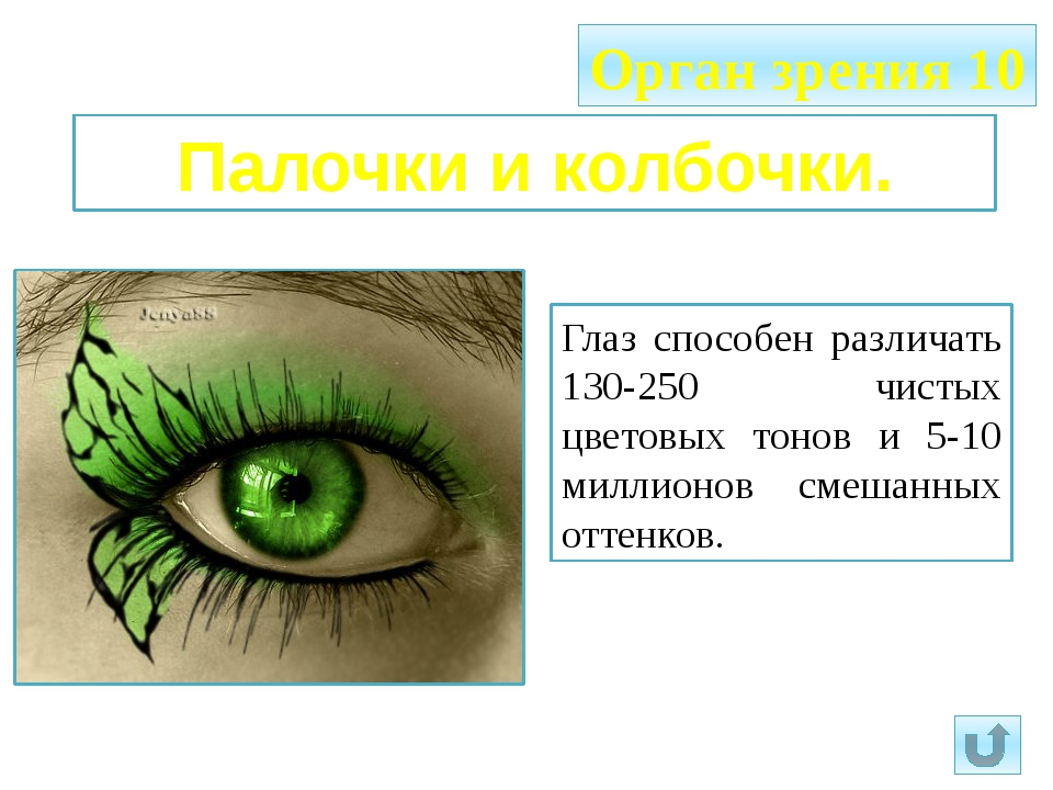 Орган зрения 10 Палочки и колбочки. Глаз способен различать 130-250 чистых цв...