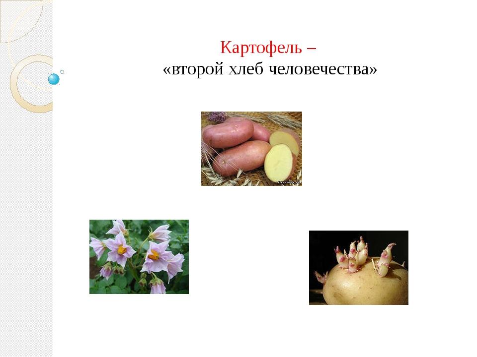 Картофель – «второй хлеб человечества»