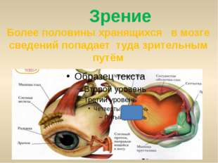 Зрение Более половины хранящихся в мозге сведений попадает туда зрительным п