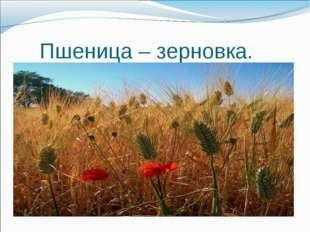 Пшеница – зерновка.