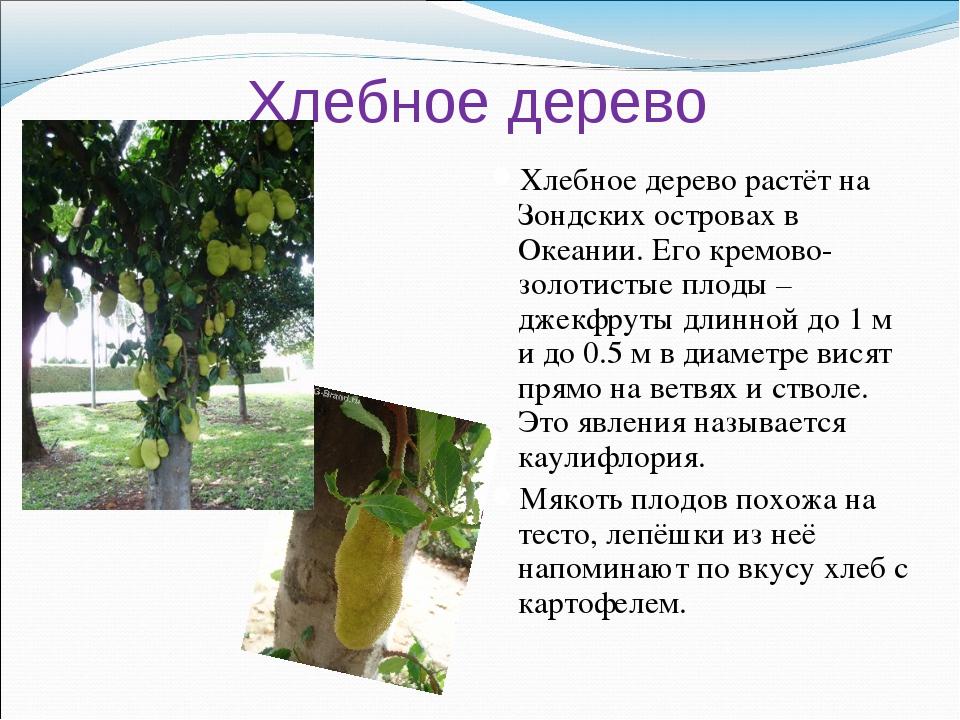 Хлебное дерево Хлебное дерево растёт на Зондских островах в Океании. Его крем...