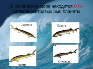 В Каспийском море находится 80% запасов осетровых рыб планеты Белуга Севрюга