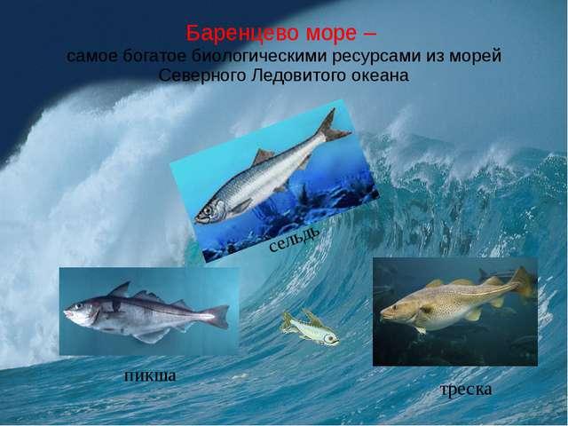 Баренцево море – самое богатое биологическими ресурсами из морей Северного Ле...