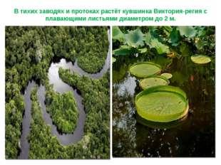 В тихих заводях и протоках растёт кувшинка Виктория-регия с плавающими листья