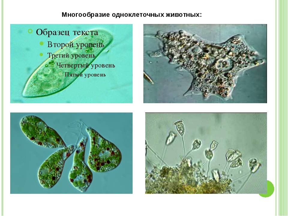 Многообразие одноклеточных животных: