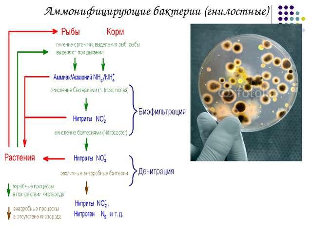 Аммонифицирующие бактерии (гнилостные)