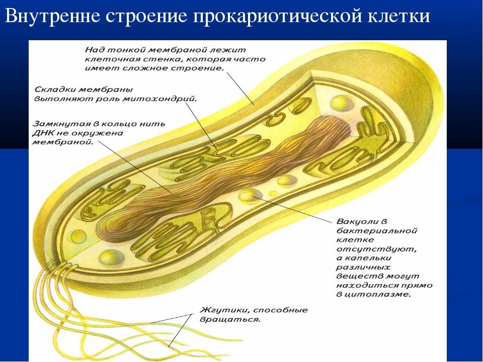 Внутренне строение прокариотической клетки