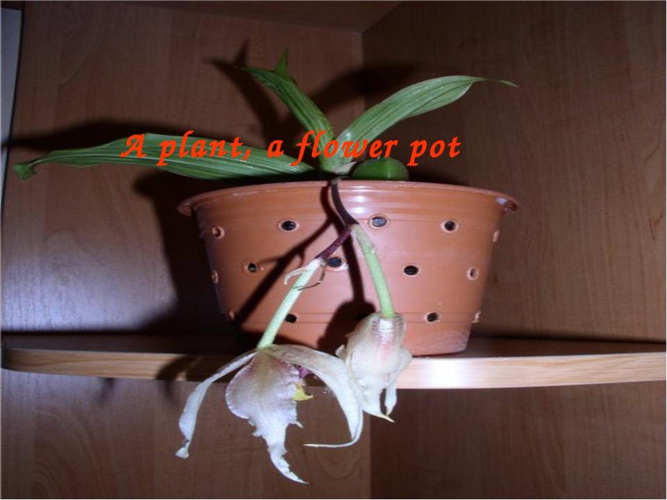 A plant, a flower pot