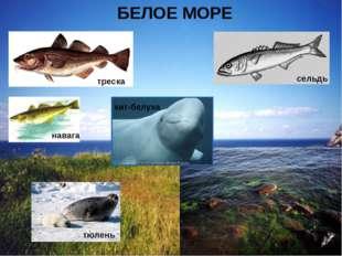 БЕЛОЕ МОРЕ треска тюлень навага сельдь кит-белуха