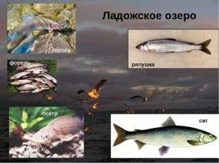 лосось форель осётр сиг Ладожское озеро ряпушка