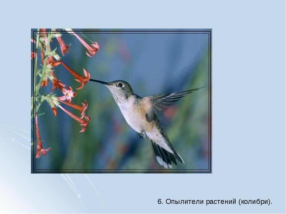 6. Опылители растений (колибри).