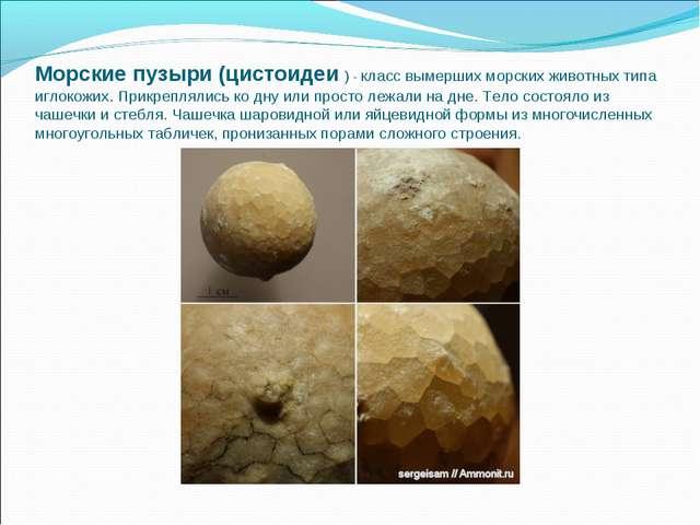 Морские пузыри (цистоидеи ) - класс вымерших морских животных типа иглокожих....