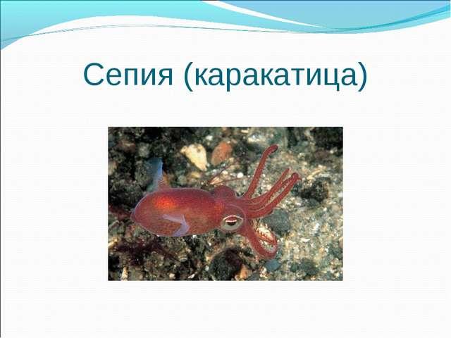 Сепия (каракатица)