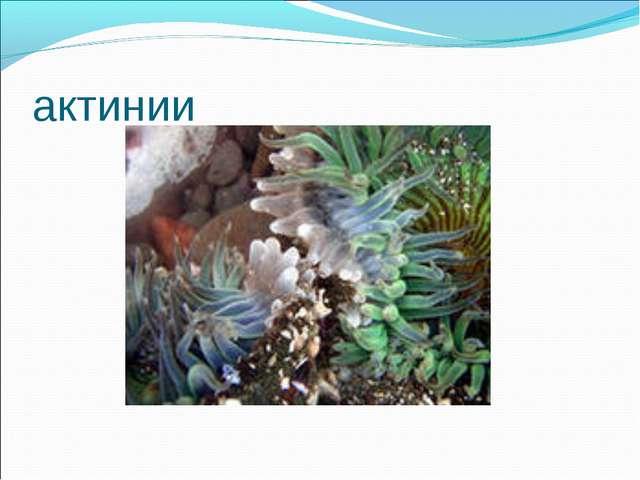актинии