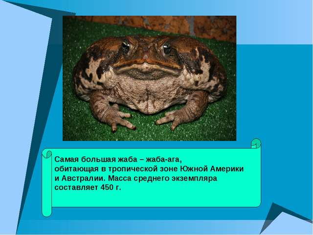 Самая большая жаба – жаба-ага, обитающая в тропической зоне Южной Америки и А...