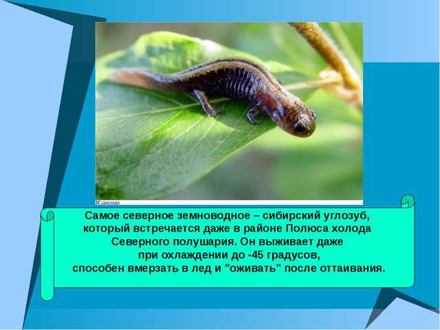 Самое северное земноводное – сибирский углозуб, который встречается даже в ра...