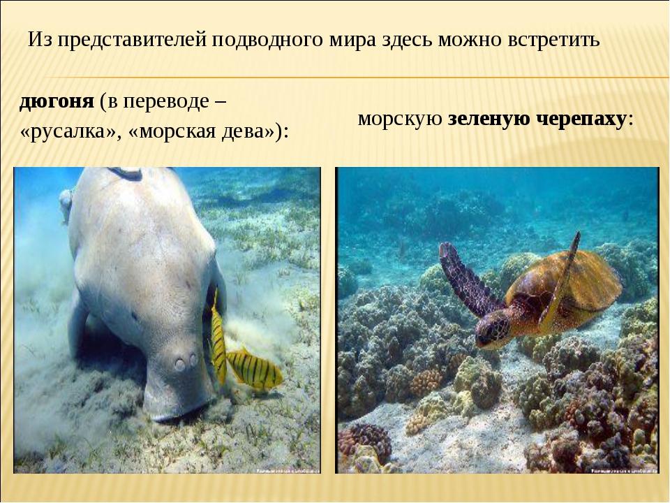 Из представителей подводного мира здесь можно встретить дюгоня (в переводе –...