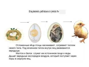 Отложенные яйца птицы насиживают, согревают теплом своего тела. Под влиянием