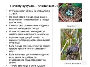 Почему кукушка – плохая мать? Кукушка сносит 20 яиц с интервалом в 1-3 дня.