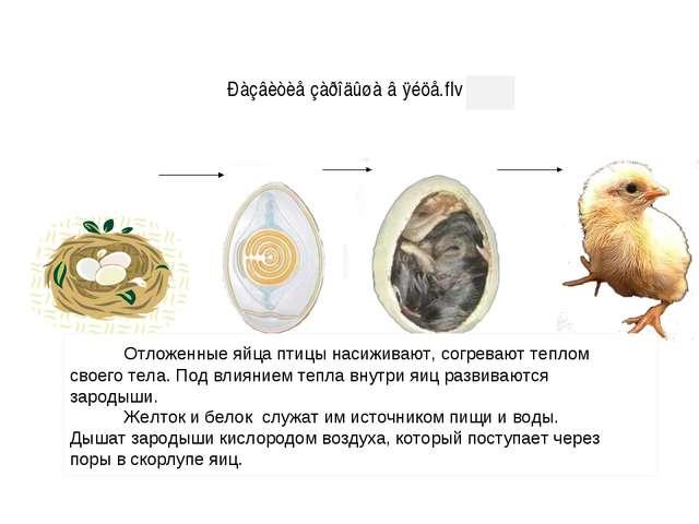 Отложенные яйца птицы насиживают, согревают теплом своего тела. Под влиянием...