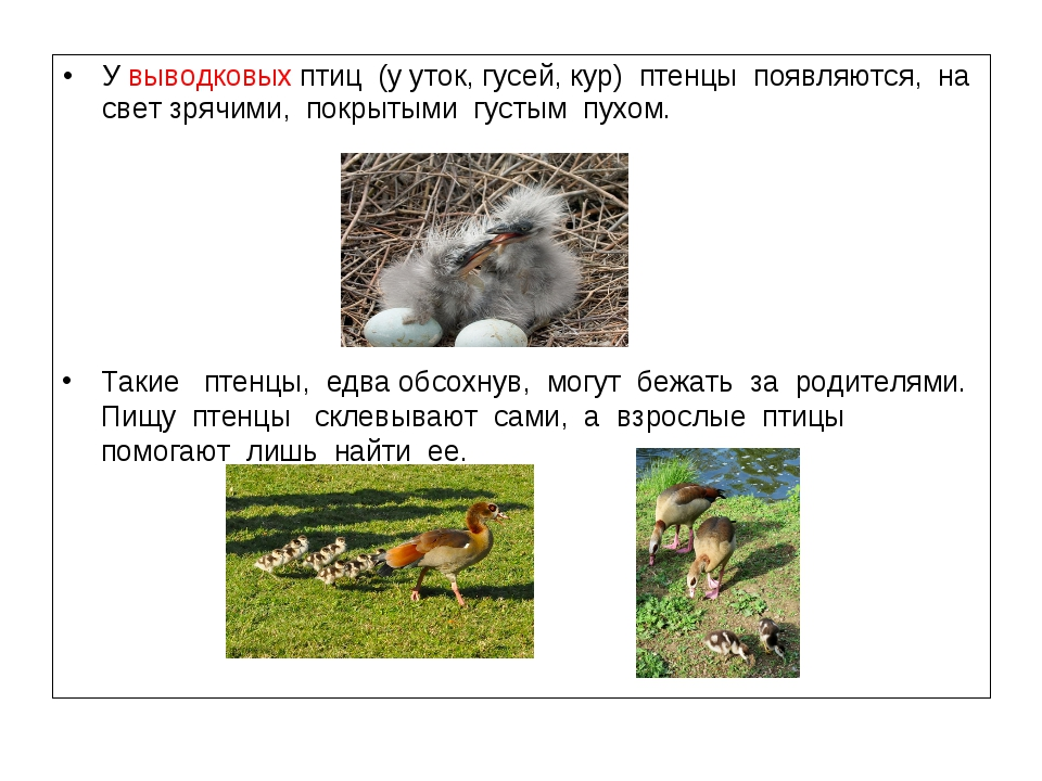 У выводковых птиц (у уток, гусей, кур) птенцы появляются, на свет зрячими, по...