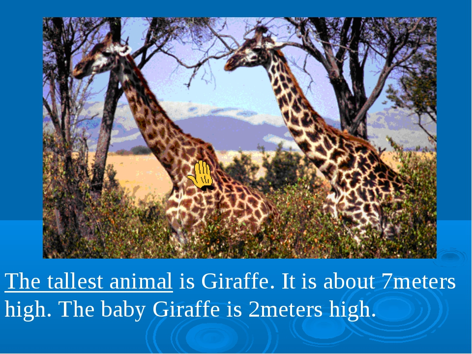 The tallest animal is Giraffe. It is about 7meters high. The baby Giraffe is...