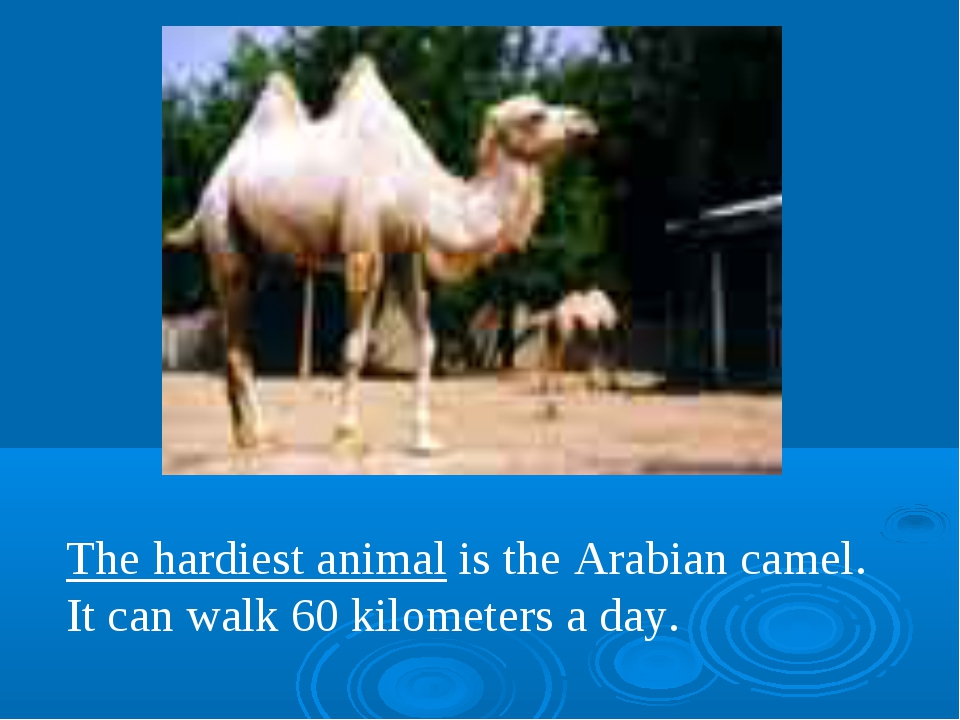 The hardiest animal is the Arabian camel. It can walk 60 kilometers a day.