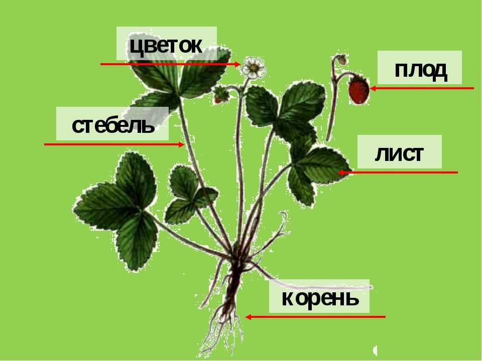корень цветок плод лист стебель