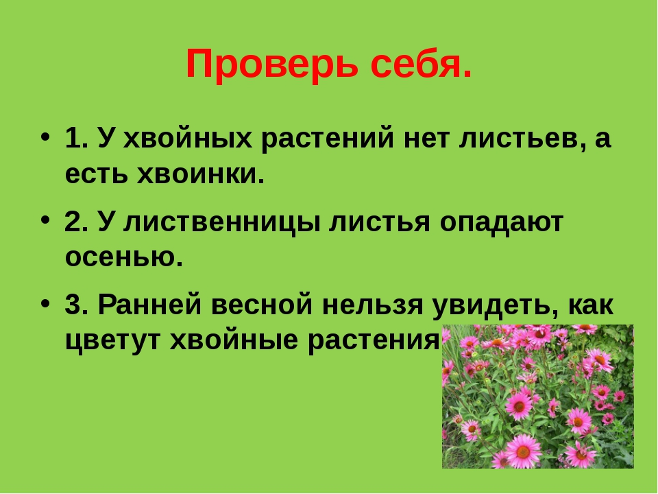Проверь себя. 1. У хвойных растений нет листьев, а есть хвоинки. 2. У листвен...