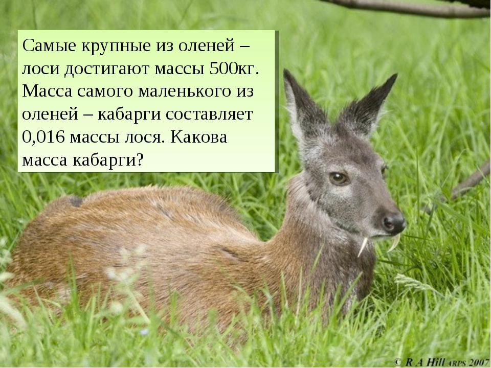 Самые крупные из оленей –лоси достигают массы 500кг. Масса самого маленького...