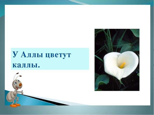 У Аллы цветут каллы.