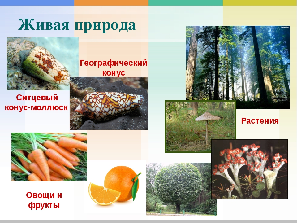 Живая природа Растения Ситцевый конус-моллюск Географический конус Овощи и...