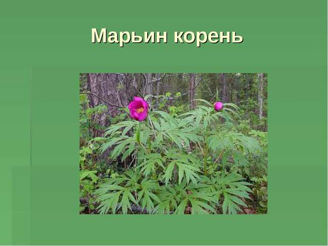 Марьин корень