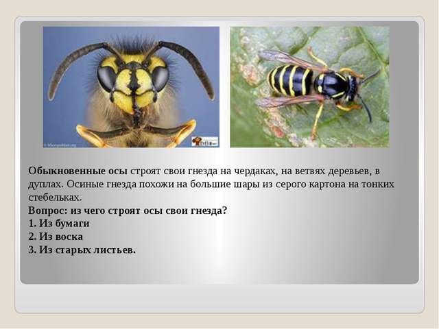 Обыкновенные осы строят свои гнезда на чердаках, на ветвях деревьев, в дуплах...