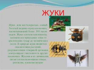 ЖУКИ Жуки , или жесткокрылые,- самый богатый видами отряд насекомых, насчиты